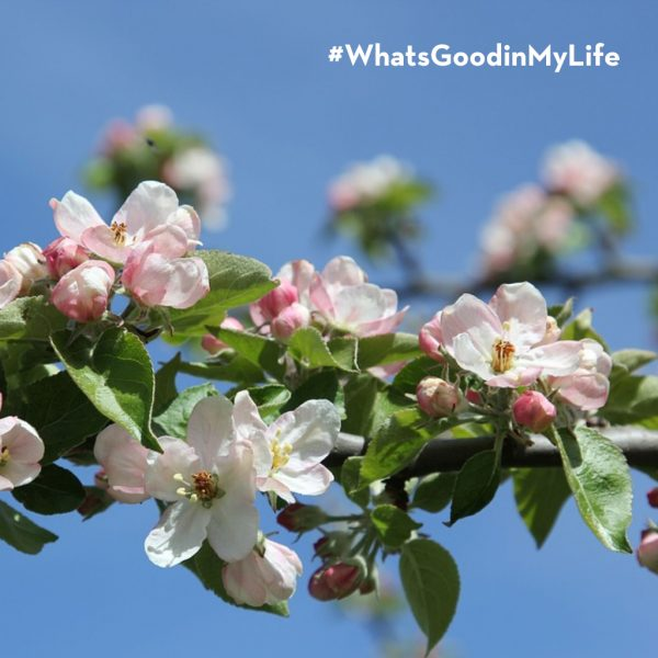 Springtime at the apple orchard in Spain